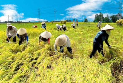 Mekong rice-fields